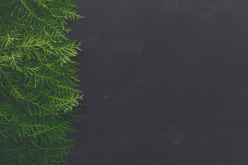 Green thuja tree branches on black background