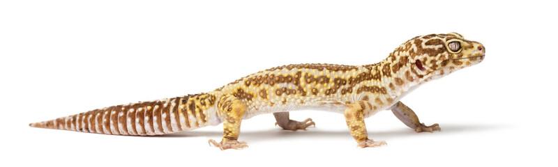 Leopard gecko, Eublepharis macularius, close up against white background