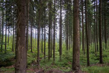 forest in Karkonoshes mountains