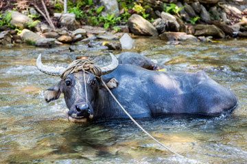 domestic water buffalo in Mindoro, Philippines