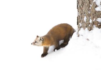 Pine Marten (Martes americana) in Algonquin Park in winter snow