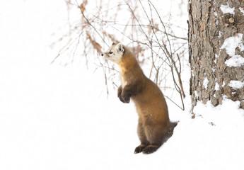 Pine Marten (Martes americana)standing in Algonquin Park in winter snow