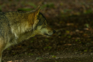 Friendly wolfs