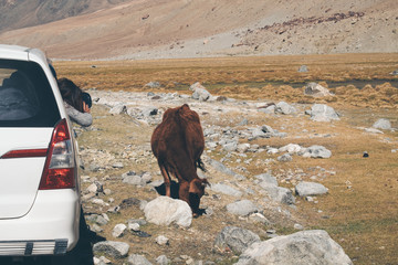 A woman tourist taking a photo of a brown cow while sitting in the car with mountain and nature background