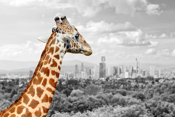 Wall Mural - Giraffe with the city of on the background
