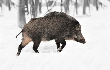 Wall Mural - Black and white photography with color wild boar