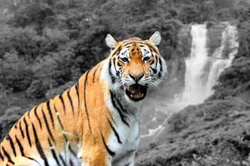 Wall Mural - Black and white photography with color tiger