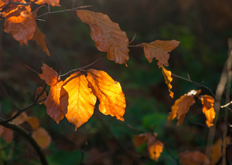 Beech leaves background, colorful autumn