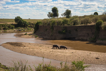 Hippos on the Mara River in Kenya