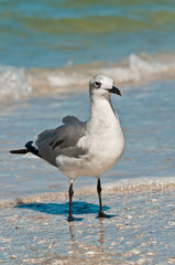 Single seagull /  Single seagull standing on a tropical shoreline waiting to scavenge for next meal on the gulf of Mexico