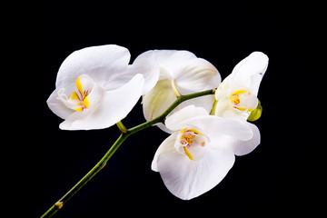 White orchidea blossoms on black background.