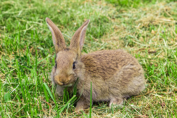 scared look  of young grey rabbit