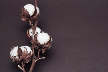 Dried White Fluffy Cotton Flower Top View onBrown Background with Copy Space. Floral Composition.