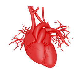 3d illustration. Human Body Organs, heart