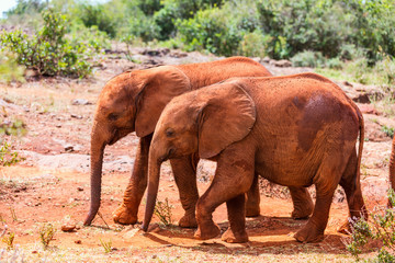 Wild baby elephants in Africa