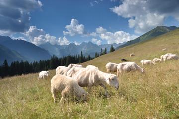 Kulturowy wypas owiec w Tatrach