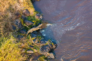 Crocodile at Mara river