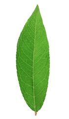 Fresh green leaf isolated with clipping path