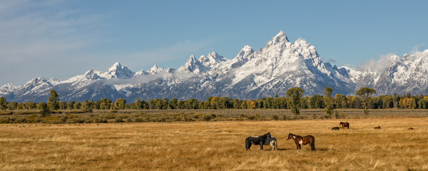Panoramic of Autumn in the Tetons and Horses