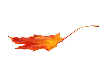 Red, yellow maple leaf on white background