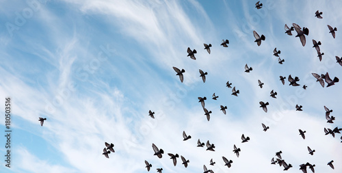 Wall mural A flock of pigeons flies across the sky. Birds fly against the s