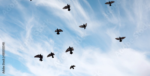 Canvas Prints A flock of pigeons flies across the sky. Birds fly against the s
