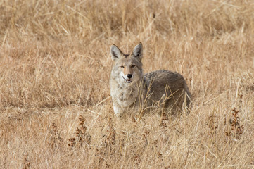 Coyote at Bosque del Apache National Wildlife in central New Mexico