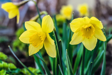Blossom spring yellow daffodils. Natural spring gardening background. Limited depth of field.