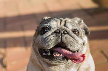 retrato de cachorro da raça pug sorrindo