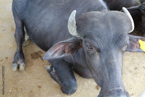Close up murrah buffalo in the farm