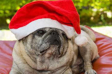 cão raça pug com touca de papai noel