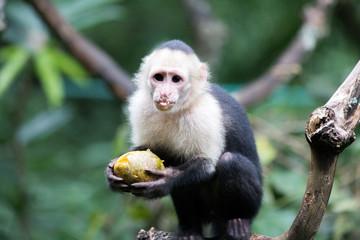 Capicinus monkey in national park Costa Rica