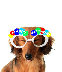 Happy Birthday dachshund puppy