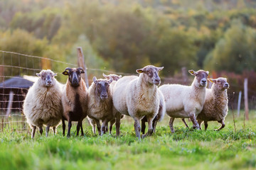 pack of sheep with on the pasture