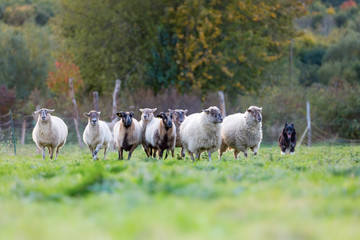 pack of sheep with an Australian Shepherd dog