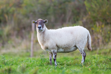 portrait of sheep on the pasture