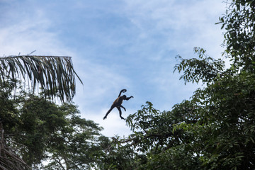 Spider monkey in their natural environment - Costa Rica - Tortuguerro National Park