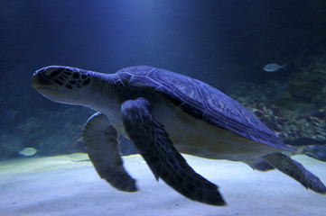 Hawksbill Marine sea Turtle