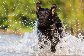 labrador runs through the water