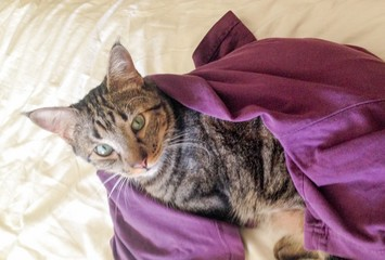 Hauskatze, von einem lila T-Shirt umhüllt