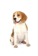 Purebred Beagle dog isolated on white background