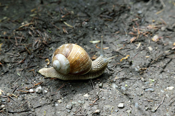 snail crawling on the wet road