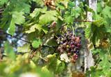 Grappoli di uva di un vigneto ligure
