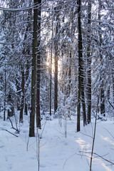 Evening sun in the snowy winter northern forest.