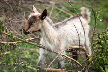 Baby goat standing on a pasture, Greece
