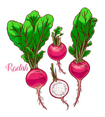 set of ripe radish