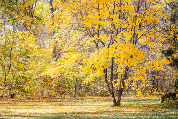 Beautiful tree with yellow foliage in autumn park.