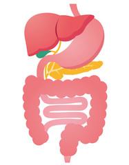 臓器 消化器系