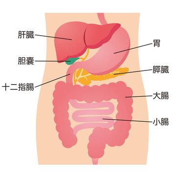 人体 内臓 図