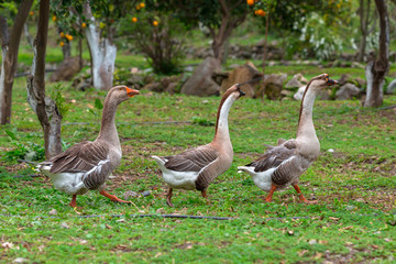 Three geese waking on the grass